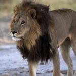 Lioness?